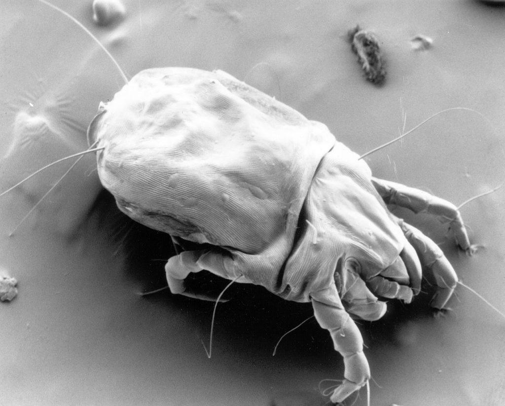 Microscoop afbeelding van huisstofmijt